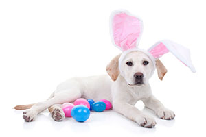Puppy with Rabbit Ears laying with Easter Eggs